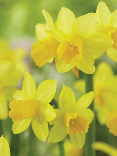 Daffodil, Tete de Luxe