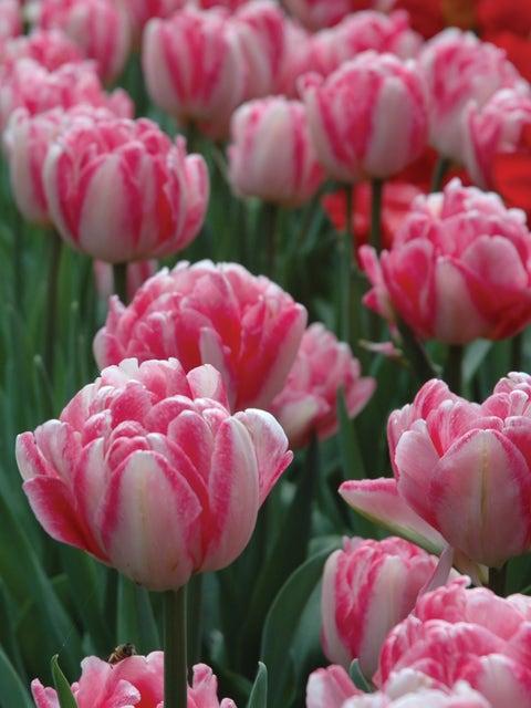 Tulip, Foxtrot