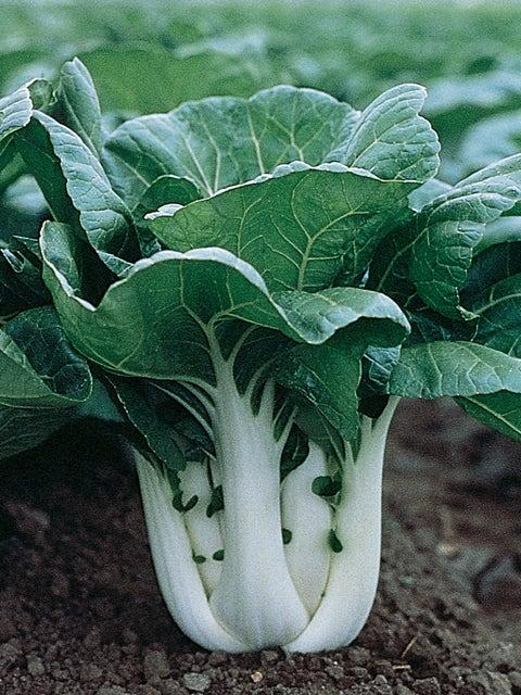 Chinese Cabbage, Pak Choi, Joi Choi Hybrid