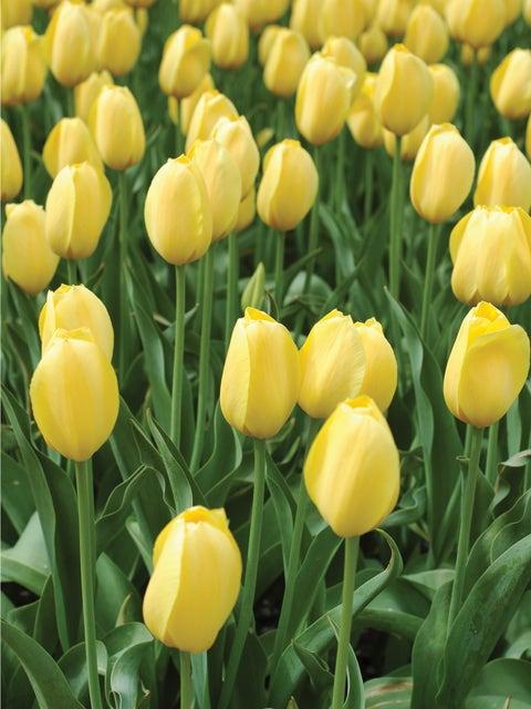 Tulip, Big Smile