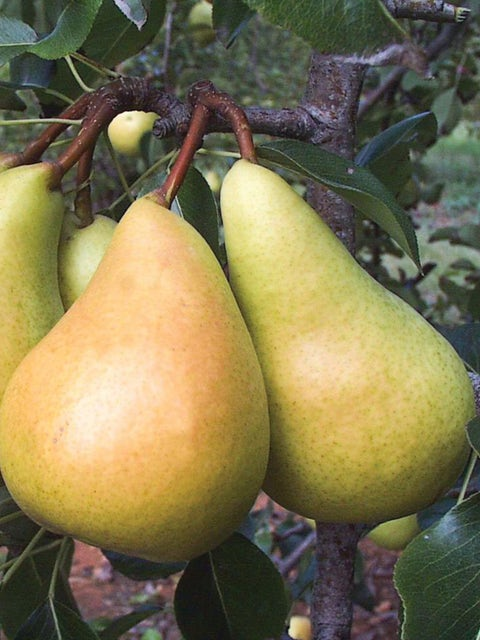 European Pear, Sunrise