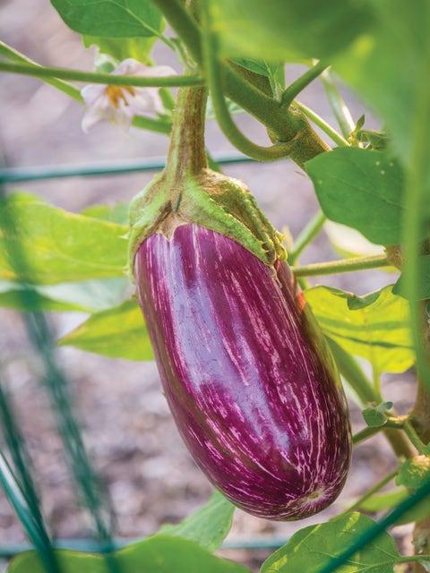 Eggplant, Behold Hybrid