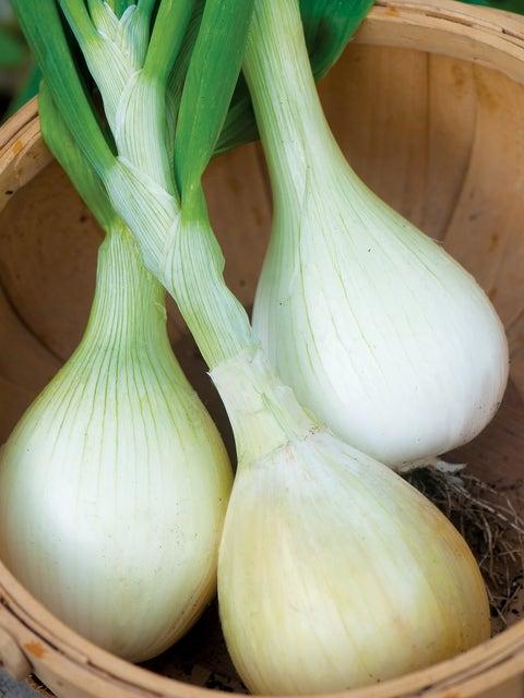 Onion, Exhibition