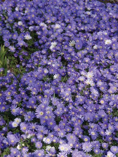 Anemone blanda, Blue Shades