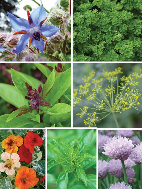 Collection, Summers Essential Herbs