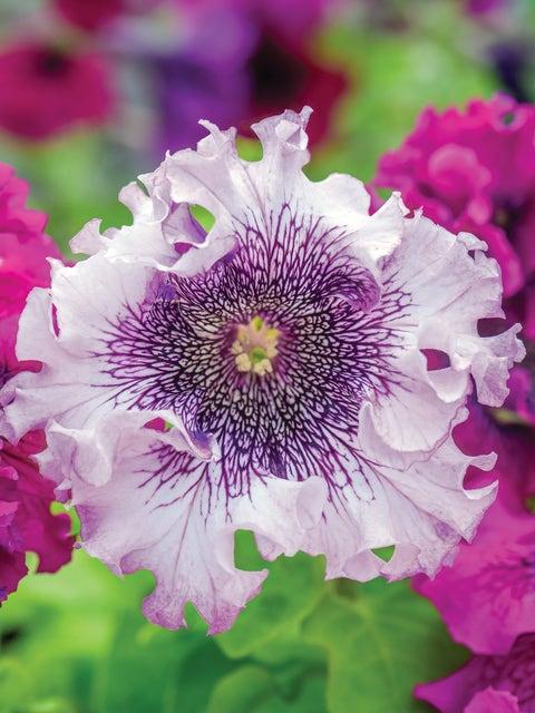 Petunia, Spellbound White Blush Hybrid