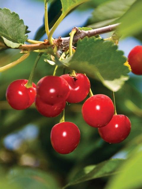 Cherry, Sour, Montmorency
