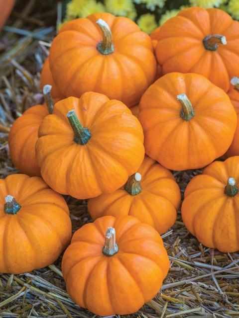 Pumpkin, Jack Be Little