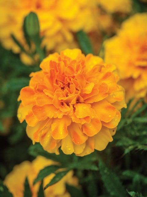 Marigold, Endurance Sunset Gold Hybrid
