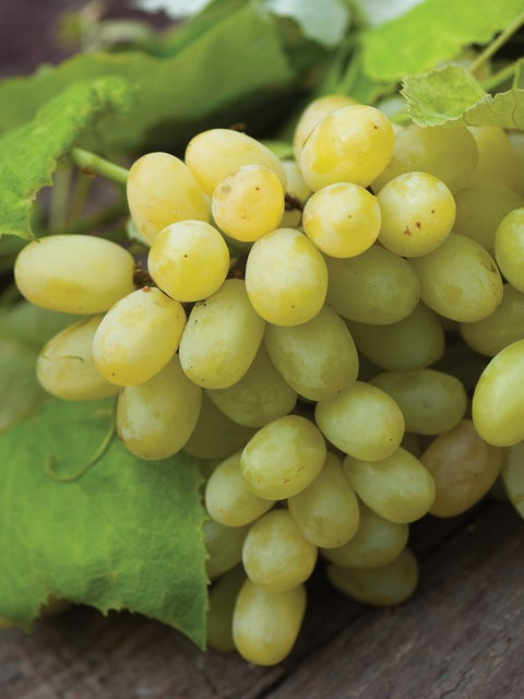 Grape, Marquis Seedless