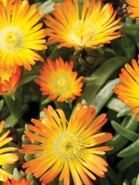 Delosperma, Orange Wonder