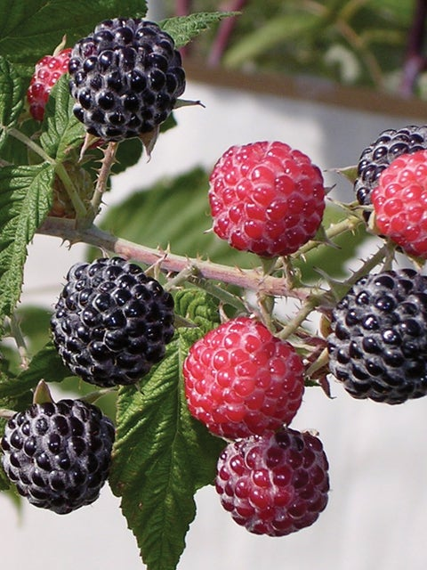 Raspberry, Niwot