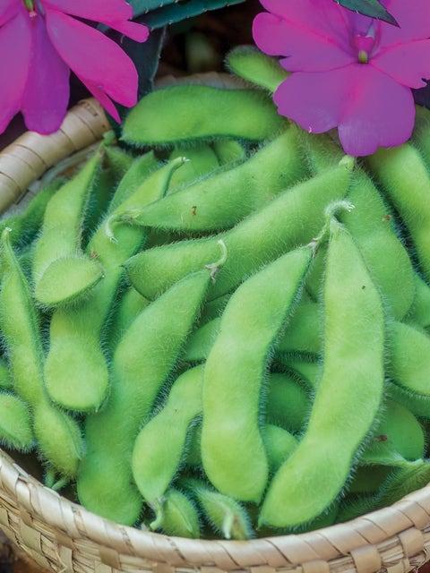 Bean, Soy, Chiba Green Organic Seed