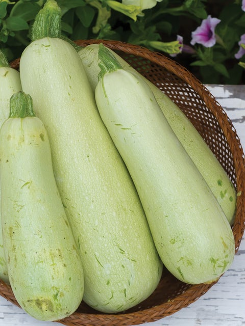 Squash, Summer Zucchini Limelight Hybrid