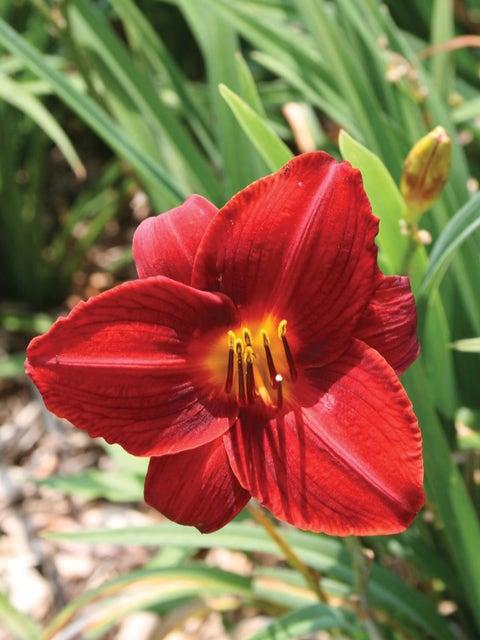 Daylily, Frankly Scarlet