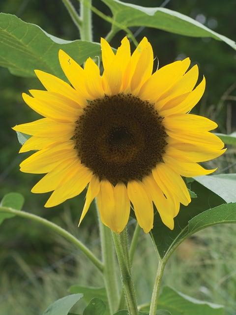 Sunflower, Del Sol Hybrid