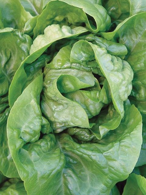 Lettuce, Buttercrunch