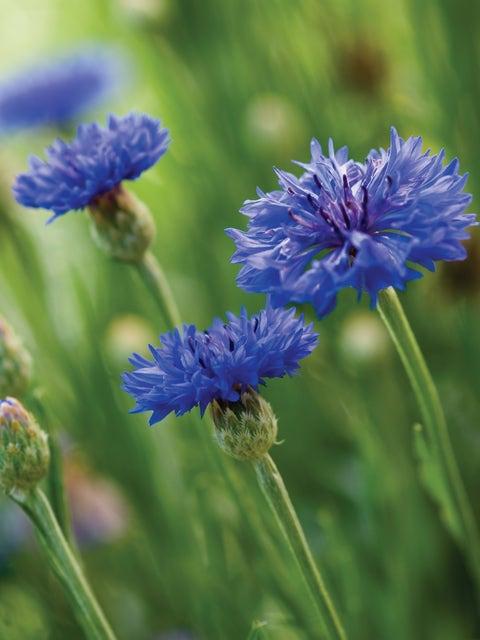 Cornflower, Blue Boy