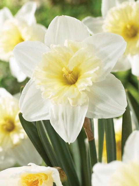 Daffodil, Ice Follies