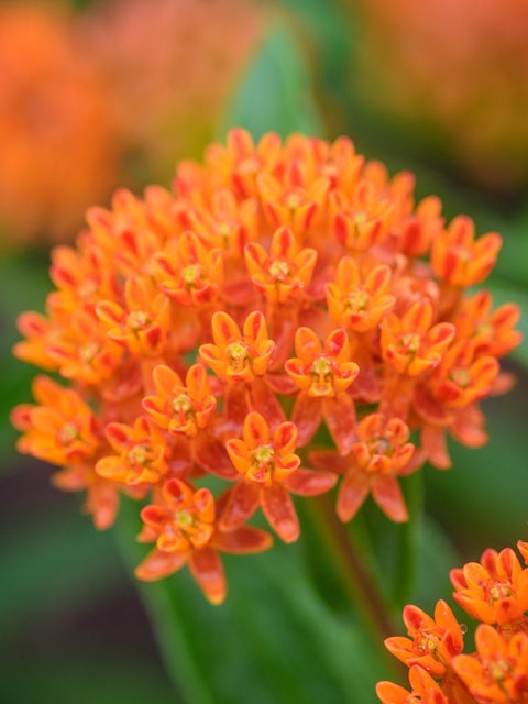 Asclepias tuberosa, Butterfly Weed