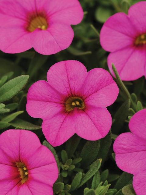 Calibrachoa, Kabloom Deep Pink Hybrid