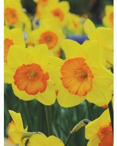 Daffodil, Smiling Maestro