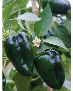 Pepper, Hot, Poblano (Ancho)