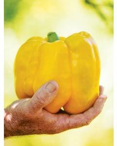 Pepper, Sweet, Gold Standard Hybrid