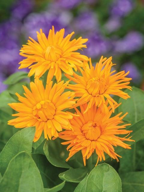 Calendula, Calexis Orange