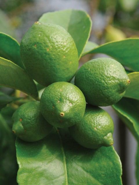 Bearss Lime Citrus Tree