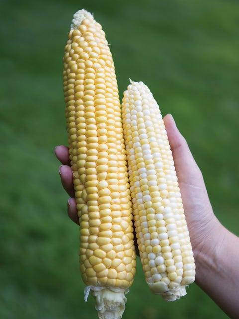 Corn, Jaws Hybrid