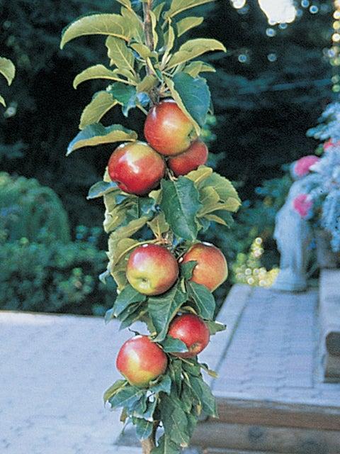 Apple, Columnar, Scarlet Sentinel