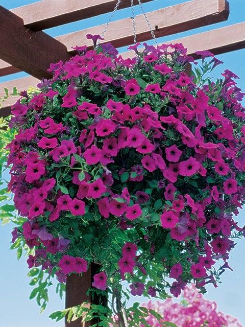 Petunia, Wave® Purple Hybrid