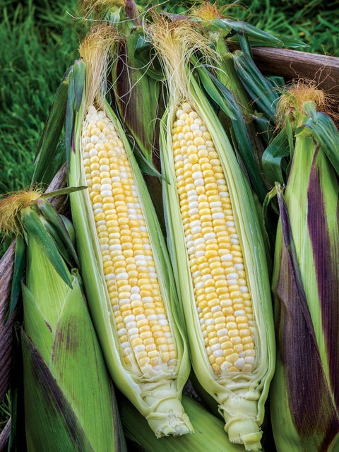 Corn, Picasso Hybrid
