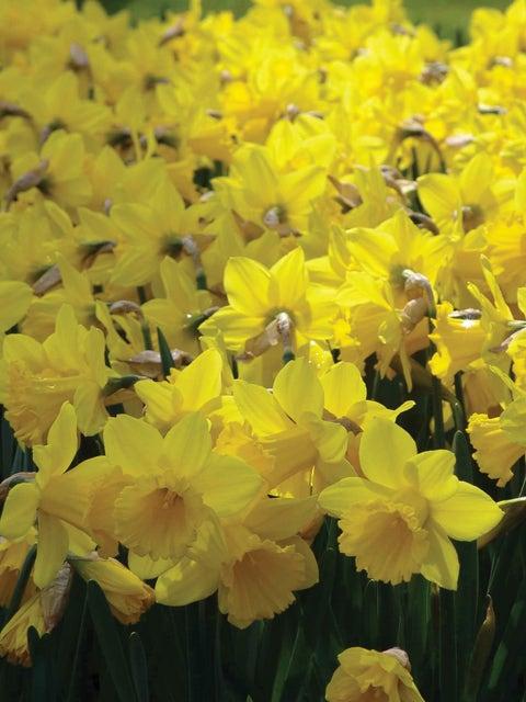 Daffodils, Yellow Trumpet 1/2 Bushel