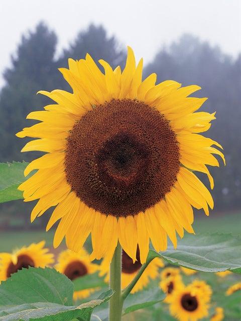 Sunflower, Kong Hybrid