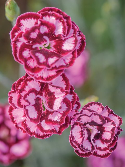 Dianthus, Scent from Heaven Angel of Compassion