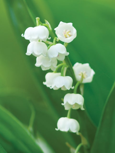 Lily of the Valley Bordeaux