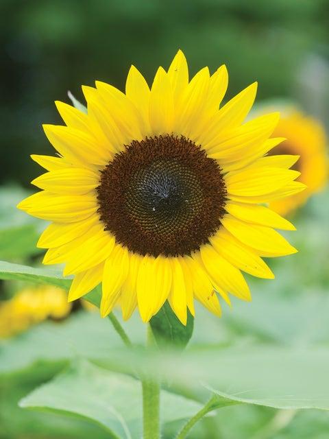 Sunflower, Jua Maya Hybrid