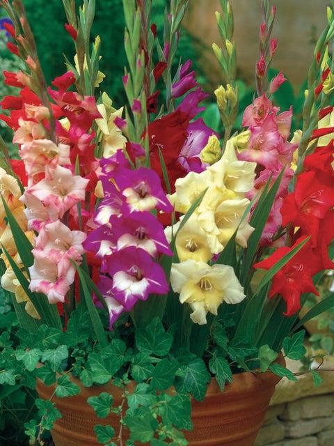 Gladiolus, Glamini Mix