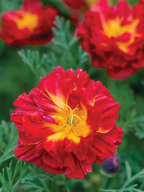 California Poppy, Cherry Swirl