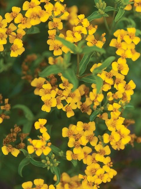 Sweet Marigold, Licorice