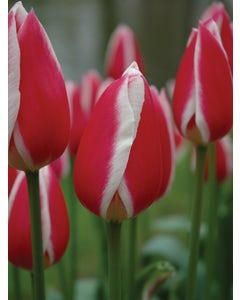 Tulip, Candy Apple Delight