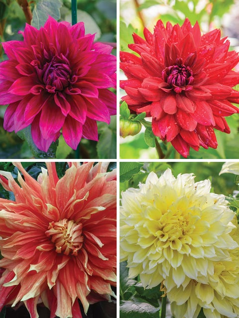 Dahlia, Dinner Plate Collection I