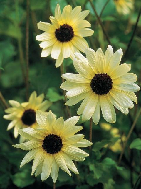 Sunflower, Italian White