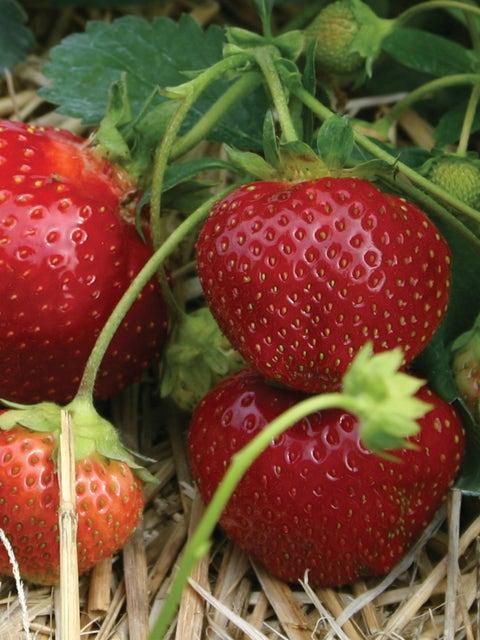 Strawberry, Galletta