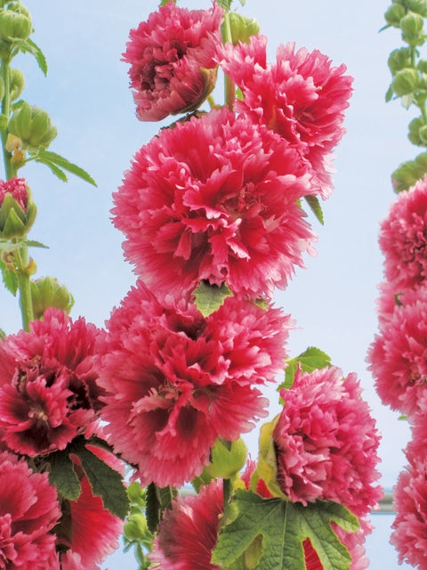 Hollyhock, Chaters Pink