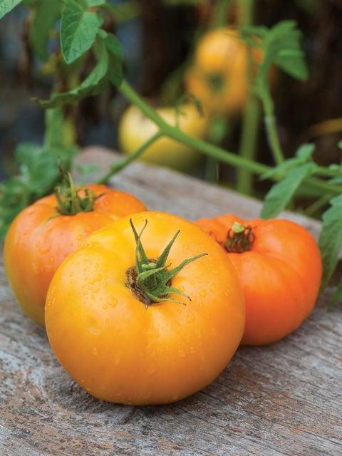 Tomato, Orange Wellington Hybrid