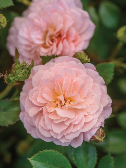 Rose, Apricot Drift