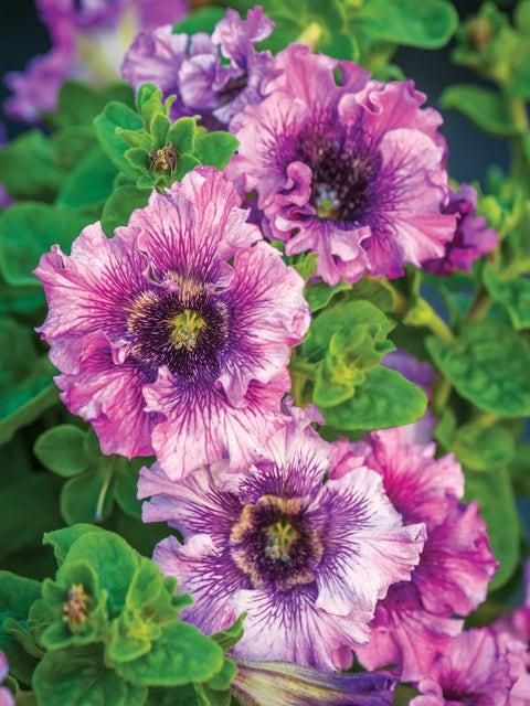 Petunia, Spellbound Pink Hybrid